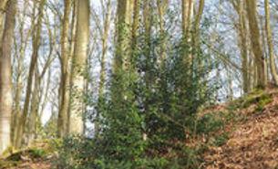 Baum des Jahres 2021 Stechpalme