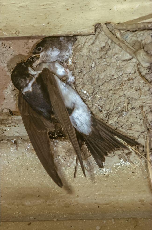 Mehlschwalbe füttert Junge
